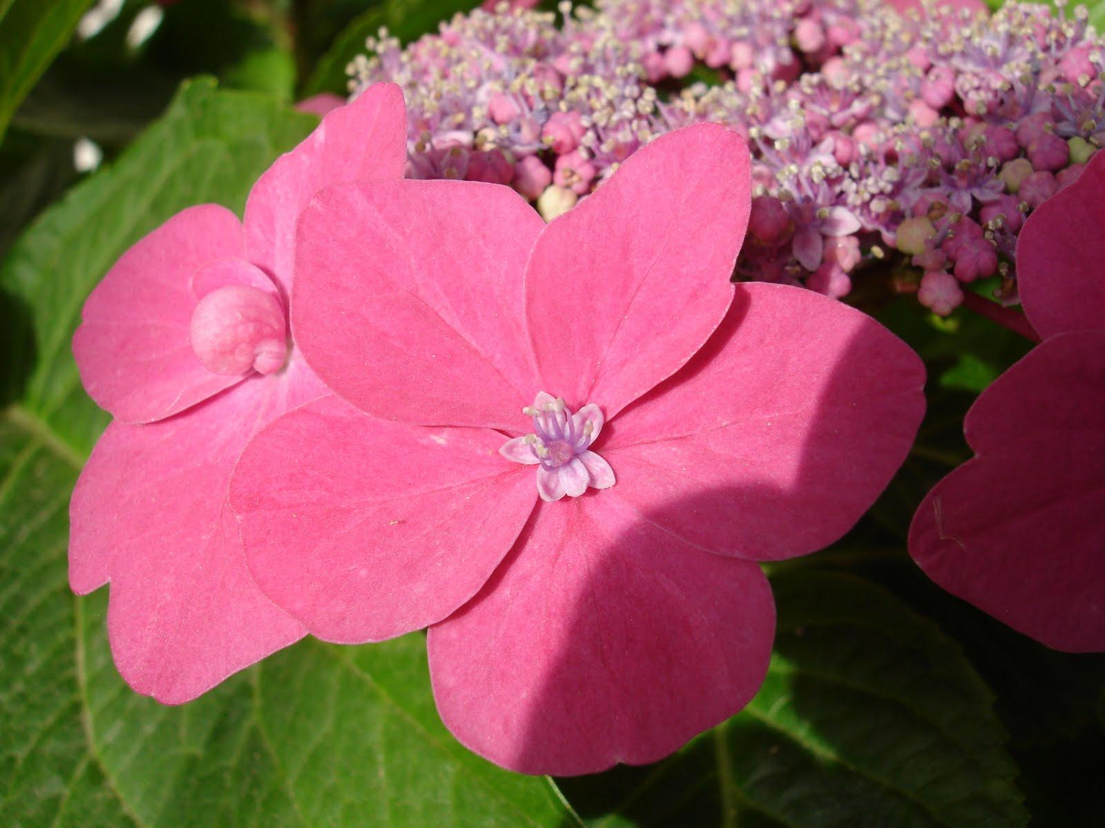 Desde murcia hortensias - Variedades de hortensias ...