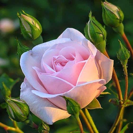 Um Amor... Rosa...