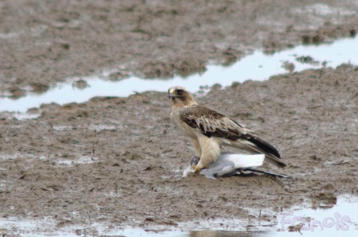 Águila calzada sobre gaviota reidora. Booted eagle on black-headed gull