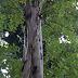 Eukaliptus, Flora Khas Australia