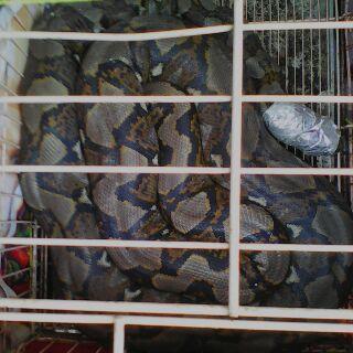 heboh ular