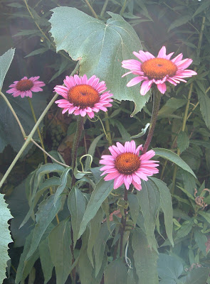 [Photo: Echinacea purpurea.]