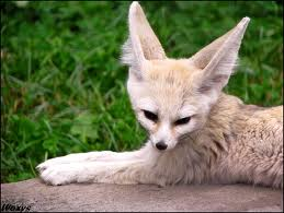 Fennec Fox picture