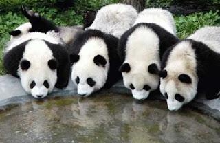 Osos Pandas gigantes tomando agua