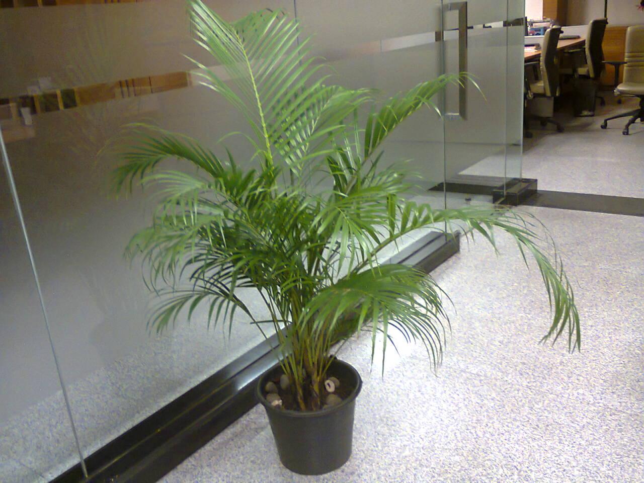 Rental tanaman Palem Kuning | Ukuran Standar