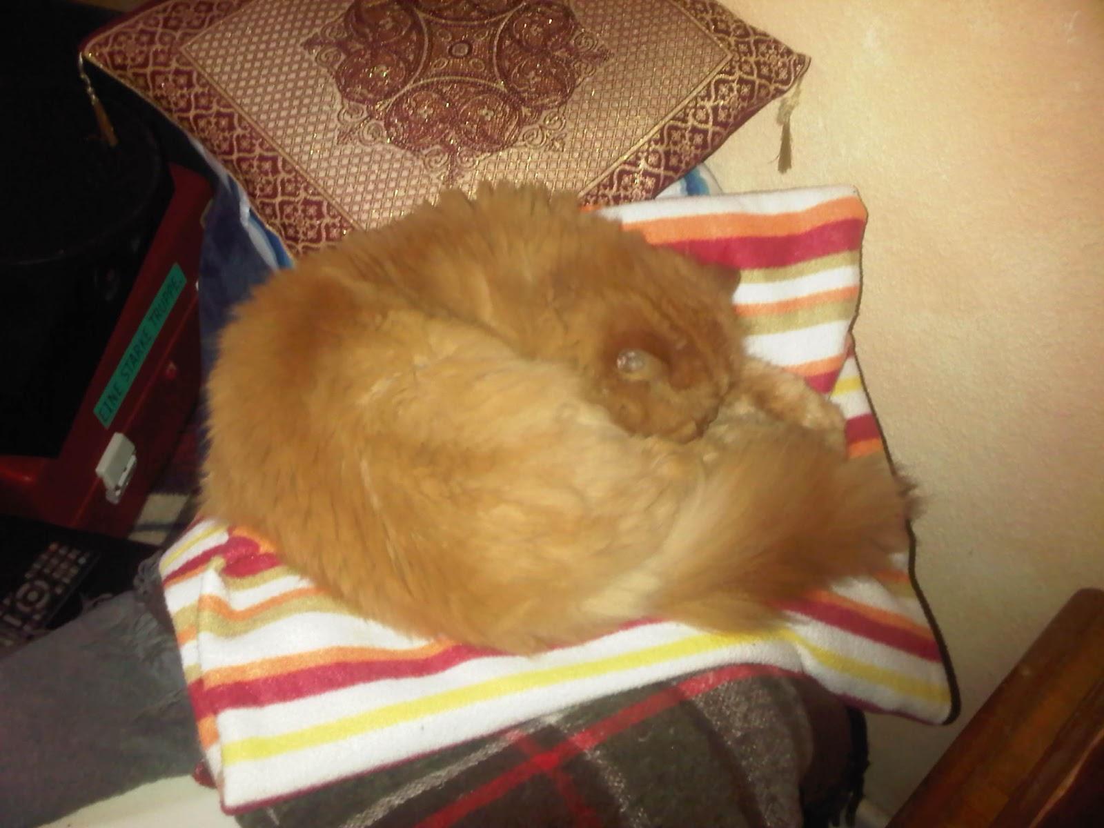 Schlafender Perserkater auf Couch und Kissen