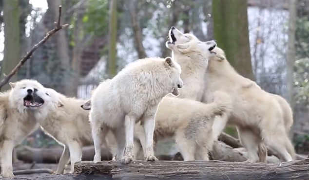 white wolf hauntingly beautiful video shows pack of 7