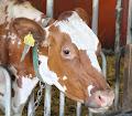 Kummallinen lehmä
