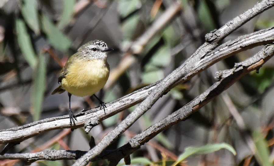 yellow rumped thornbill images of christmas