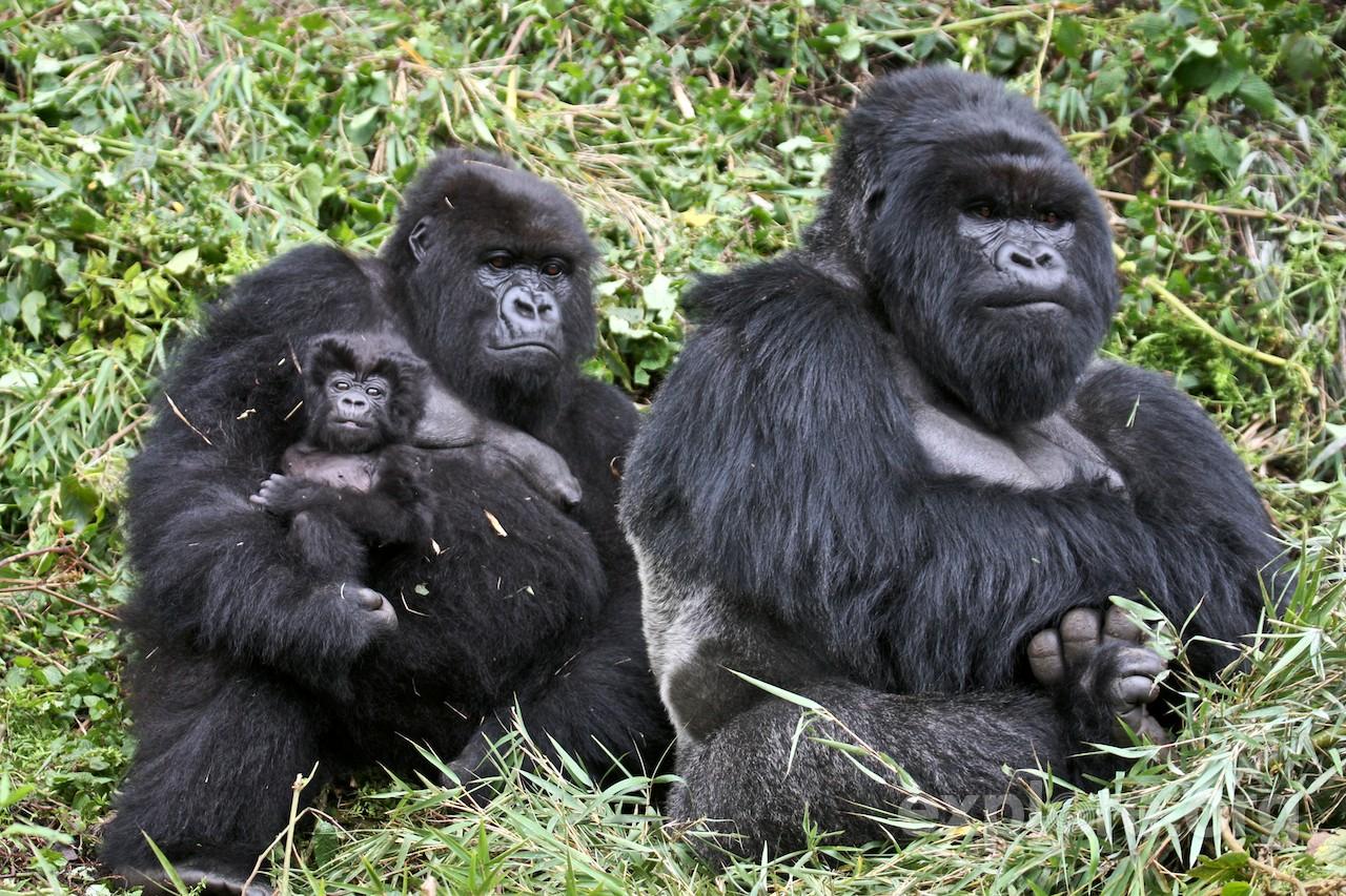 gorilla.de