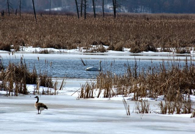 canada goose and swan, early Spring