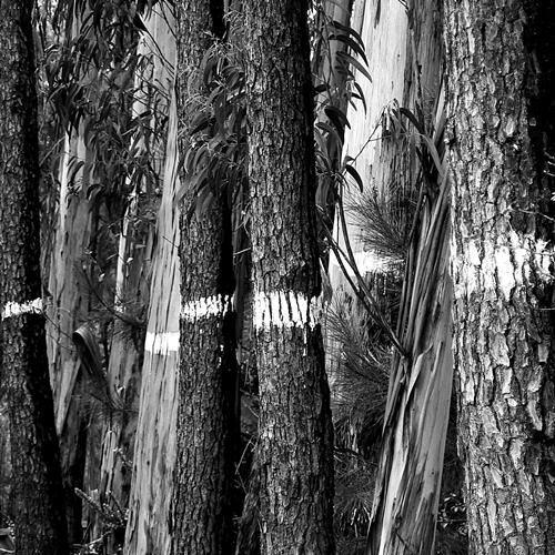 fotografafia de árvores, fotografia preto e branco, riscos de morte, abate de árvores