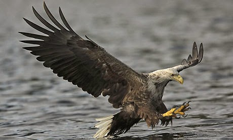http://www.telegraph.co.uk/news/earth/wildlife/11302220/Sea-eagles-eat-more-lamb-than-fish-despite-their-name-according-to-research.html