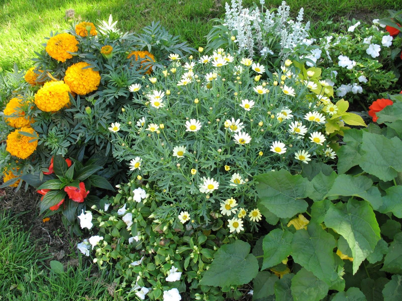 roses du jardin ch neland rose d 39 inde. Black Bedroom Furniture Sets. Home Design Ideas