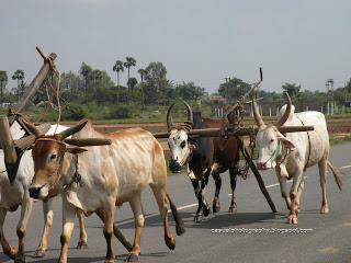 Bullocks - For the Morning Shift - Kalahasti