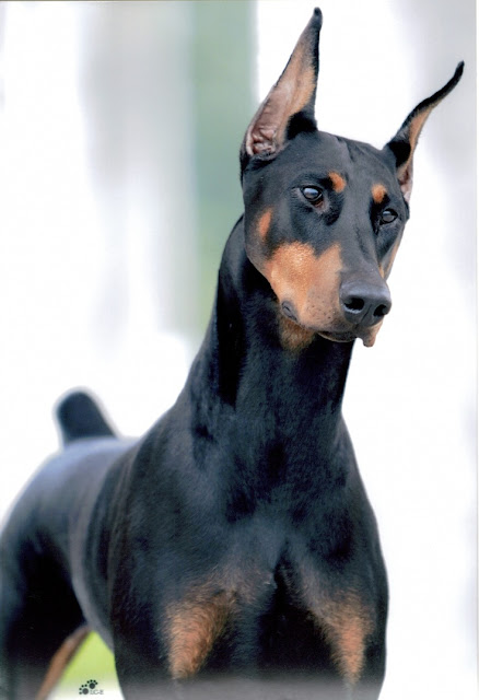 Health problems in Doberman Pinscher