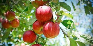 Apel, cara diet dengan makanan dapat menurunkan berat badan