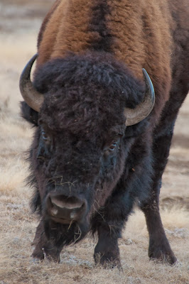 Wind Cave National Park Bison