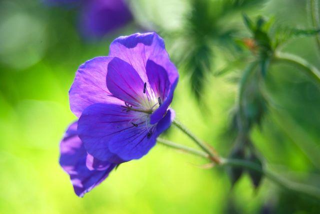 Geranium 'Orion', the floriferous sport of famous Geranium 'Johnson's Blue'
