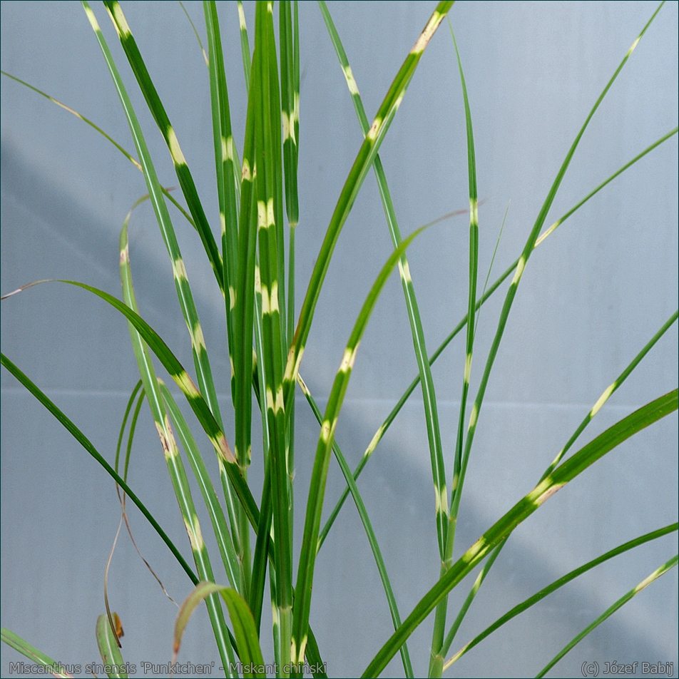 Miscanthus sinensis 'Punktchen' - Miskant chiński 'Punktchen'  liście