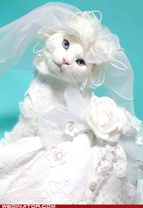 really funny pictures funny cat wedding
