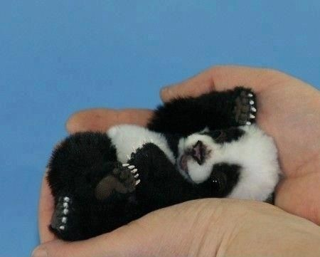 baby panda in palm