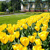 Yellow Tulips photos images