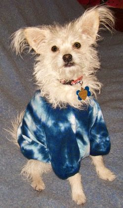 White dog in overly-large blue tie-dyed t-shirt