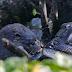 Βίδρα κατασπαράζει ζωντανό αλιγάτορα: Μετά το φίδι, τώρα τους εξευτελίζουν και τα τρωκτικά.