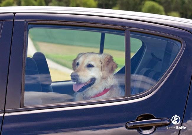 Perigos ao deixar seu cachorro em carro trancado