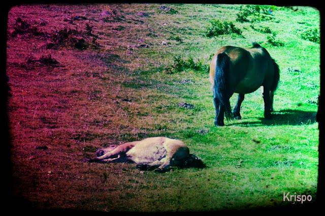 dos caballos, uno de ellos tumbado en la hierba en foto antigua