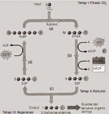 Pengertian dan Fungsi Enzim NADH