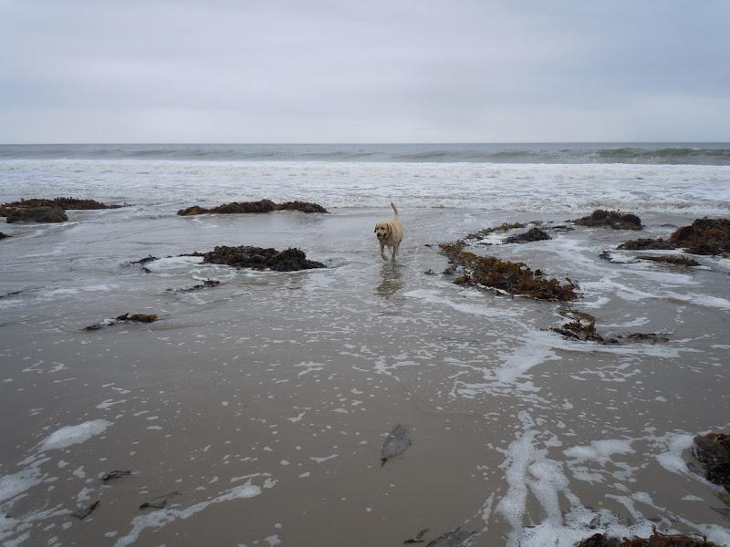 Labrador Cooper Hendry's Dog Beach