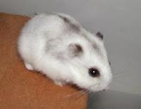 Hamster branco
