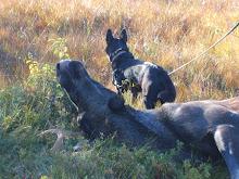 Kira har funnet elgen