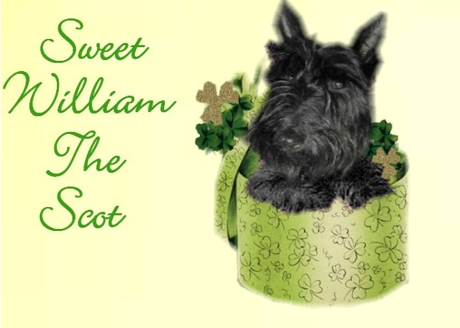 Sweet William The Scot