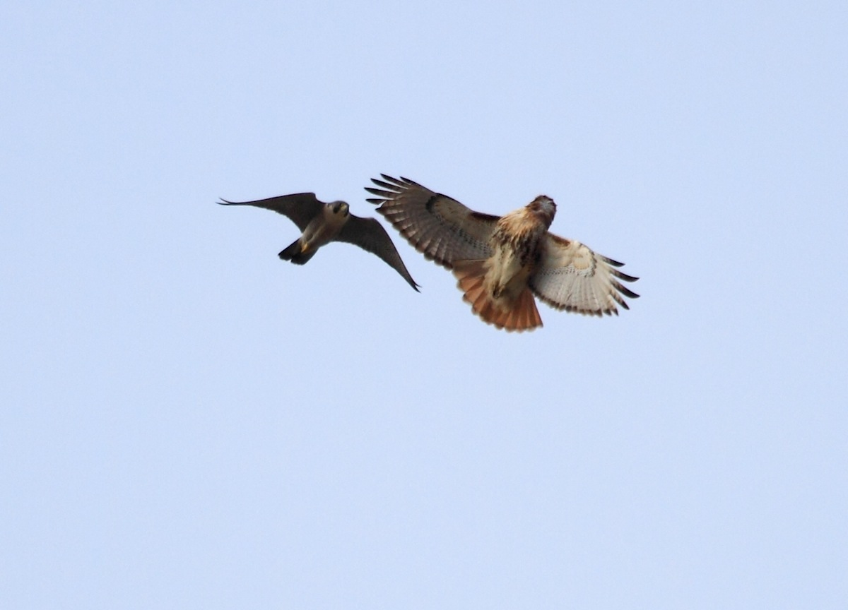 Red-tailed Hawk and Peregrine Falcon fighting in mid-air