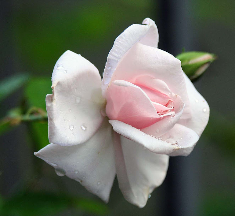 Pink Rose after a Rain Shower