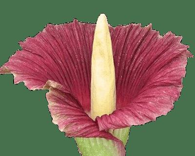 flor-apestosa-olor-repugnante