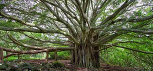 The banyan tree (pohon beringin)