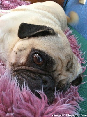 Pug begging for food in his bed