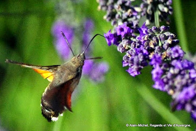 Papillon : Moro-Sphinx.