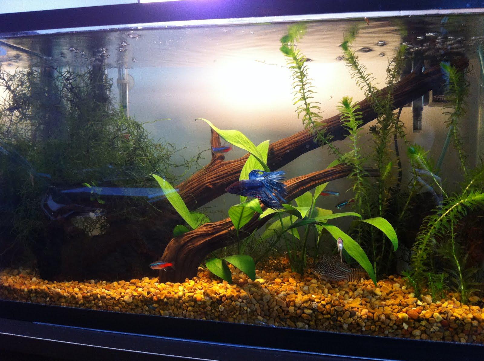 Megans Aquarium Diary: African Dwarf Frogs