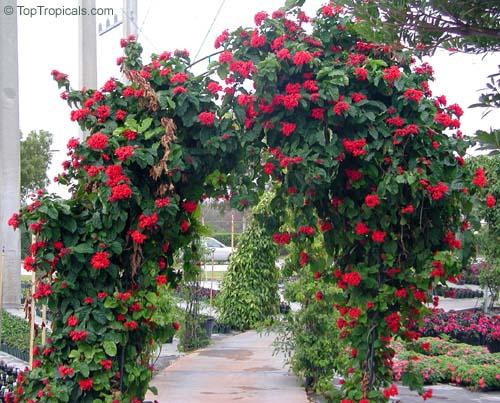 o cultivo a vida clerodendro vermelho