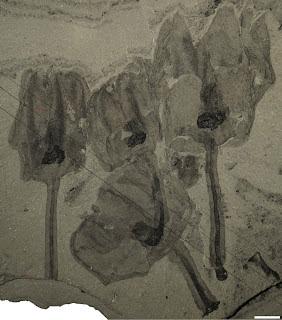Siphusauctum fossil