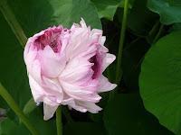 一本の蓮の茎に、複数の蕾をつけるという珍しい八重咲きのハスである