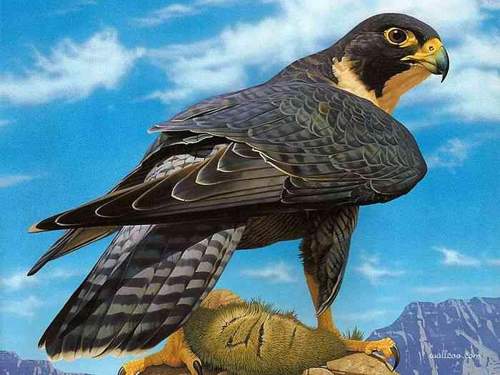 Peregrine Falcon Hewan Yang Paling Cepat Di Dunia
