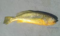 Yellow Croaker