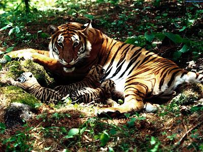 Tiger Standard Resolution Wallpaper 34