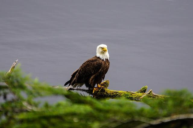 Bald-Eagle-Ketchikan-Alaska